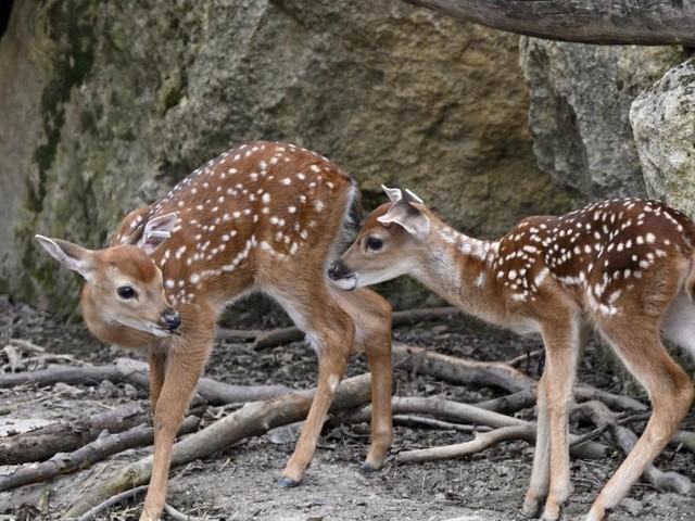 """Zwei seltene """"Bambis"""" im Tiergarten Schönbrunn geboren"""
