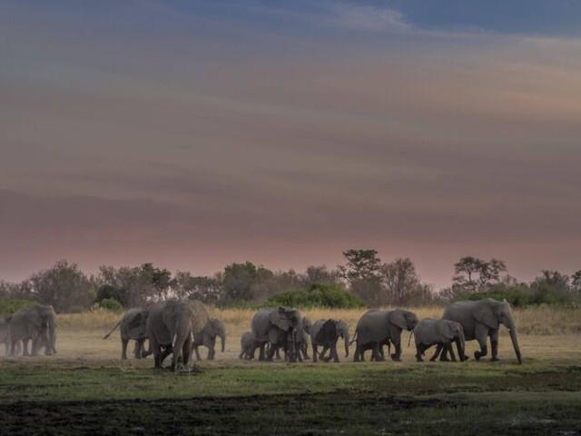 Botswana will die Jagd auf Elefanten wieder erlauben