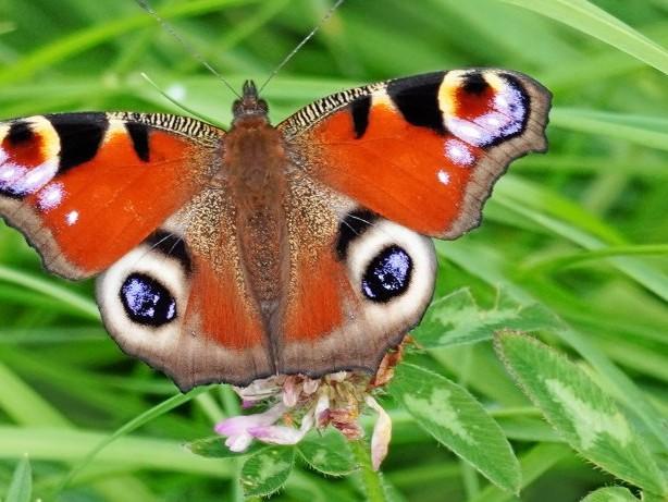 Aus der Tierwelt: Wie Schmetterlinge gut überwintern