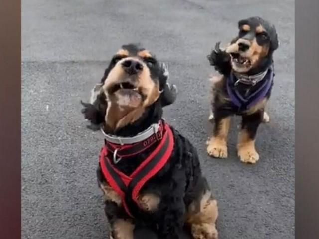 Vom Winde verweht: Zwei Hunde kämpfen mit dem Sturm
