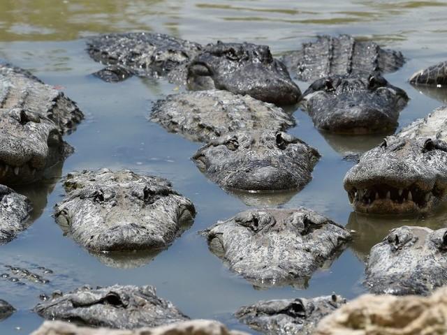 kurz & krass: Mann bricht in Alligatoren-Farm ein und badet mit Krokodilen
