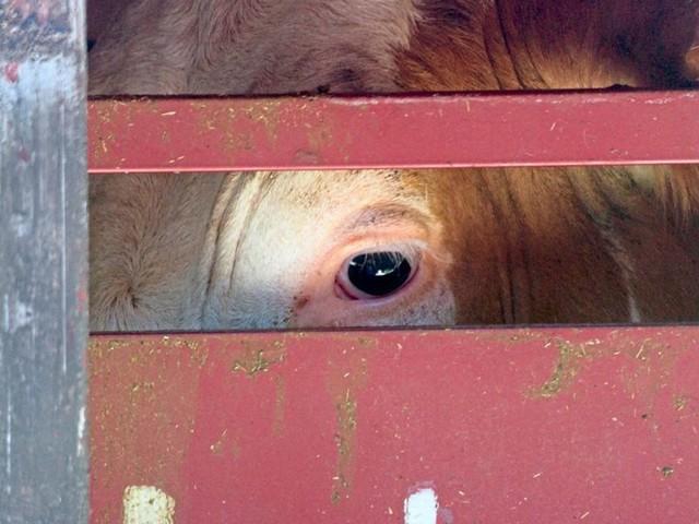 Tiertransporte - Österreich verlängert das Tierleid