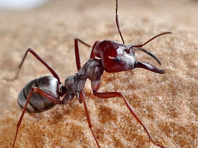 Sahara: Forscher filmen schnellste Ameisen der Welt