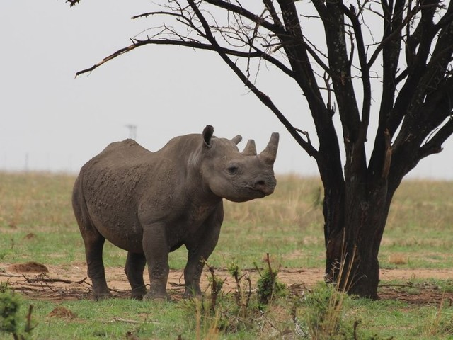 Nashorn-Wilderei in Südafrika legt wieder zu