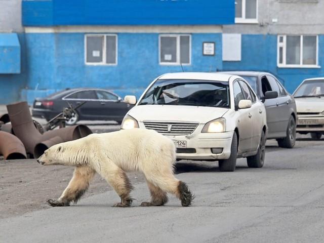 Hungrig - Eisbär suchte in sibirischer Stadt nach Futter