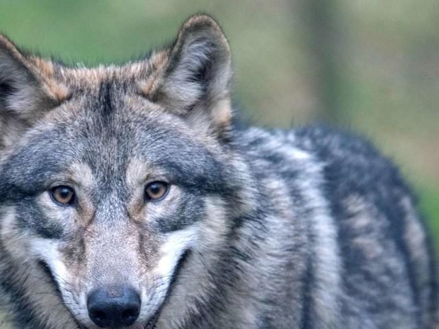 Dritter Wolf im Schwarzwald nachgewiesen