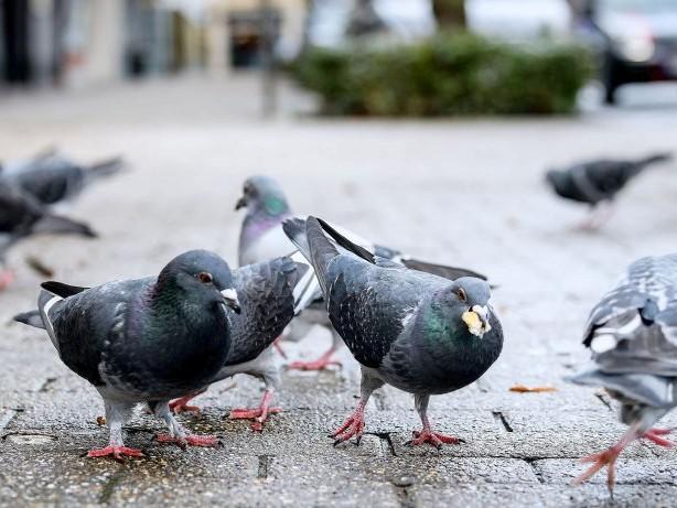 Am Ende der Woche: Tauben in Gelsenkirchen: Zu viel Tierliebe ist schädlich