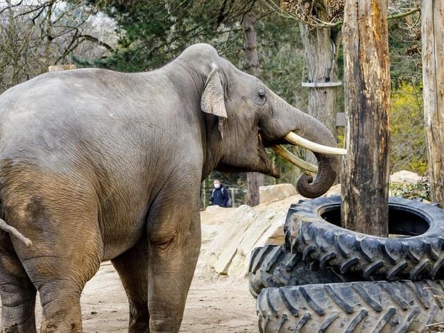 """Nicht nur """"Törööö"""": Asiatische Elefanten quietschen mit den Lippen"""