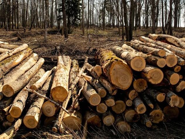 Kritik an Dänemarks Klimapolitik: Holz, das den Wald zerstört