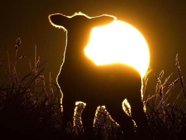 Kreis Nordfriesland - Brutaler Überfall auf zwei Lämmer: Unbekannter trennt Tieren nachts den Kopf ab