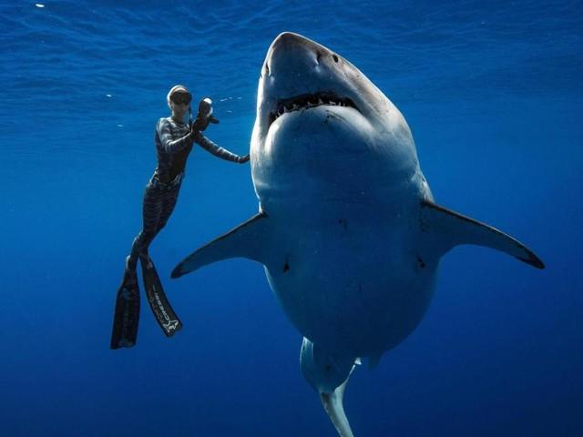 Taucher posieren vor Hawaii mit riesigem Weißen Hai