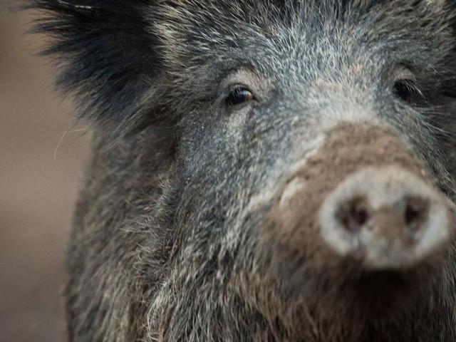 """""""Schwarzfahrer"""": Wildschwein stieg in die U-Bahn ein"""
