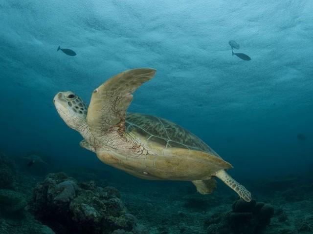 Plastikmüll ist besonders für junge Meeresschildkröten gefährlich