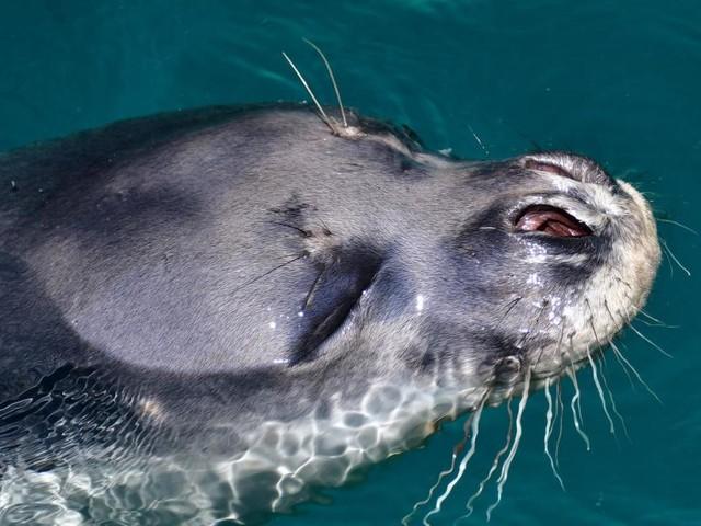 Unbekannte töteten beliebte Maskottchen-Robbe in Griechenland