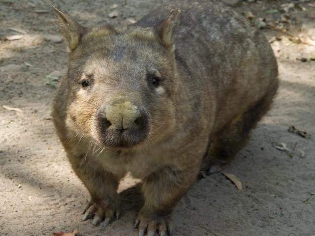 Australische Insel: Jagt die Wombats nicht mit Selfiesticks