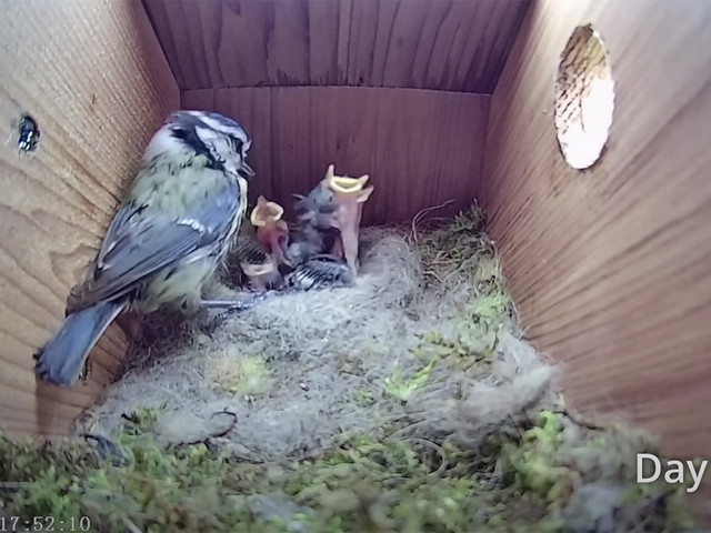 Zeitraffer vom Nestbau im Vogelhaus bis zur Brut