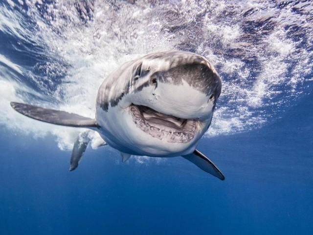 Warum Haie Menschen mit Robben verwechseln