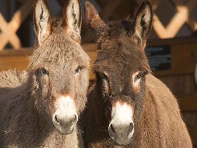 Rührend: Esel rettet Artgenossen von Autobahn
