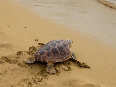 Umwelt - Studie: Plastikmüll als Falle für junge Meeresschildkröten