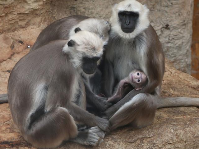Hulman-Languren in der ZOOM Erlebniswelt Asien mit Nachwuchs