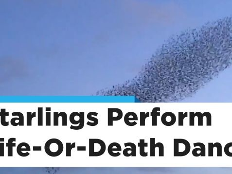 Thousands of Starlings Evade a Pesky Falcon in This Stunning Visual Display