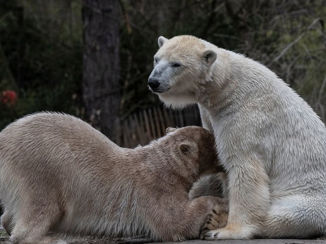 Tierpark Berlin: Eltern von Eisbärin Herth