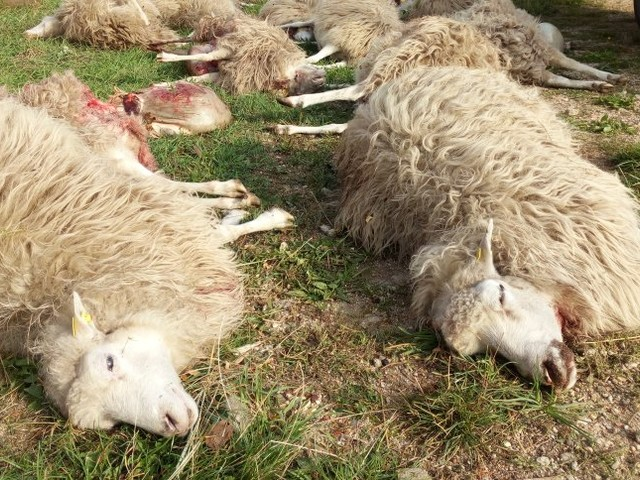 Schadensbilanz: Zahl der Wolfsangriffe auf Nutztiere gestiegen
