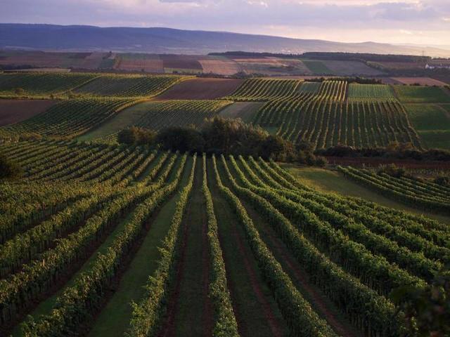 Trotz weniger Anbaufläche: Wein aus Österreich in Deutschland zunehmend gefragt