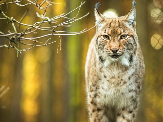 Luchsuriöser Ausflug auf den Spuren der Raubkatzen