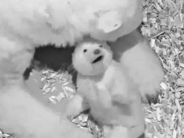 Sooo niedlich: Berlins neues Eisbären-Baby ist ein Mädchen!