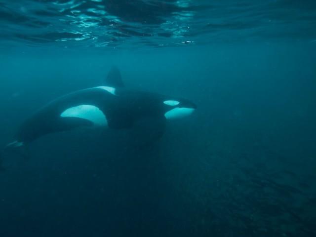 Spanien: Forscher rätseln über Orca-Angriffe