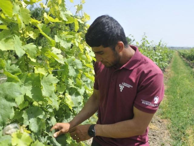 Flüchtling aus Afghanistan mit Liebe zum Weinbau