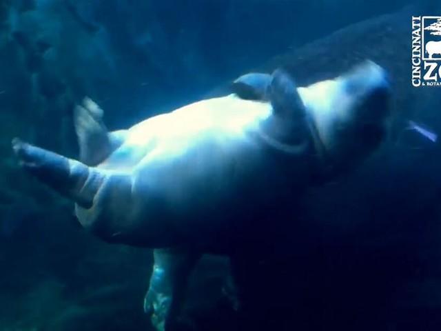 Fiona im Pool: Flusspferd macht seinem Namen alle Ehre