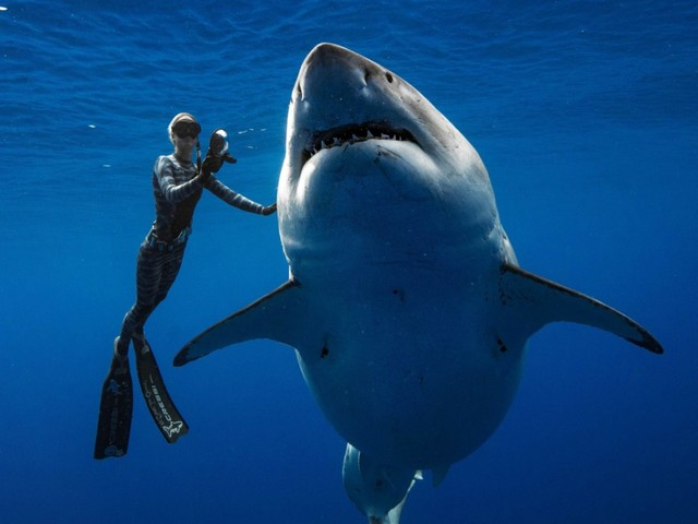 Weißer Hai vor Hawaii: Der schöne, sanfte Riese