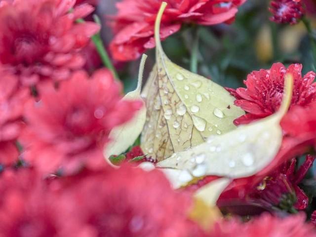 Chrysanthemen: Winterhart oder nicht? – Entscheidendes Detail beachten