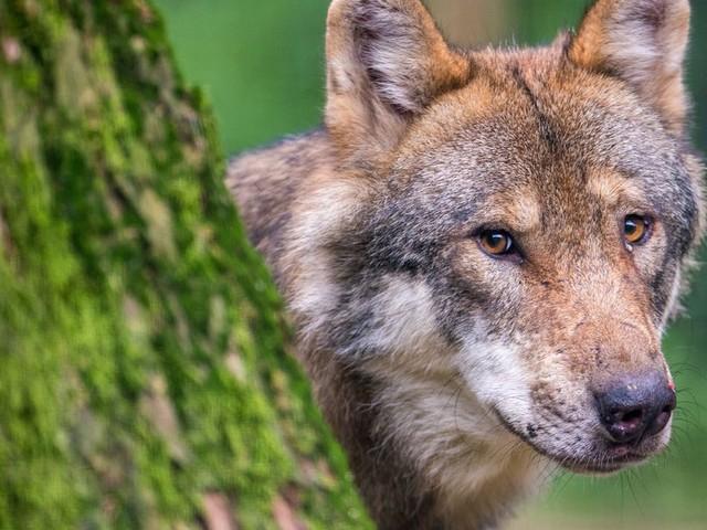 Schäfer scheitert vor Gericht: Wölfin Gloria darf weiterleben