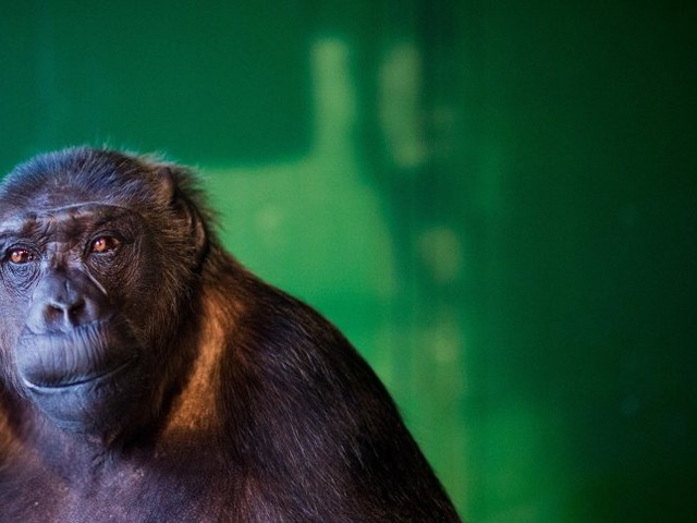 Urteil in Lüneburg: Schimpanse Robby darf bei Zirkusbetreiber bleiben