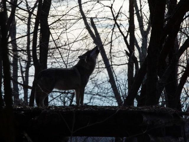 Wolfsabschuss auf drei Kärntner Almen im Gailtal erlaubt