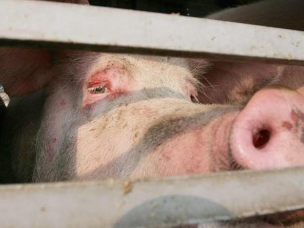 Klöckner-Vorschlag: Verbraucherschützer befürworten freiwilliges Tierwohl-Logo