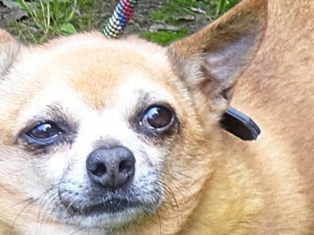 Tier in Not: Ausgebüxt oder ausgesetzt? Chihuahua in Bottrop gefunden