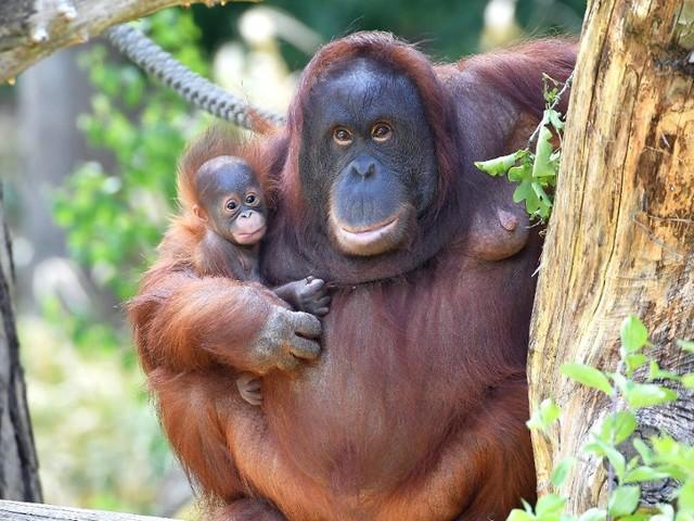 """Zoo Rostock: Jüngstes Affen-Baby bekommt im Rahmen von neuer Ölgemälde-Ausstellung den Namen """"Mayang"""""""