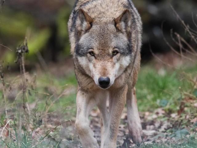 Wer sich vor dem bösen Wolf fürchtet