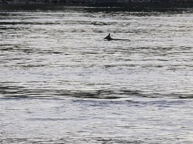 NÖ: Hier überquert ein Reh schwimmend die Donau