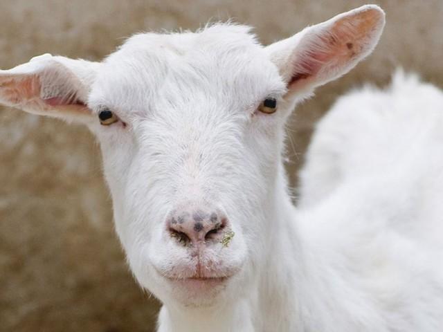 Berlin-Neukölln: Ziege in Streichelzoo getötet – zwei Verdächtige ertappt