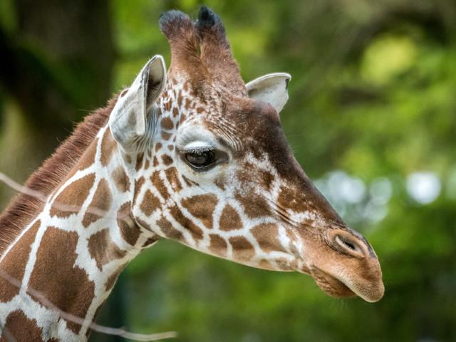 """Hellabrunner Giraffen-WG mit neuer Mitbewohnerin: """"Baridi"""" in Münchner Tierpark eingezogen"""