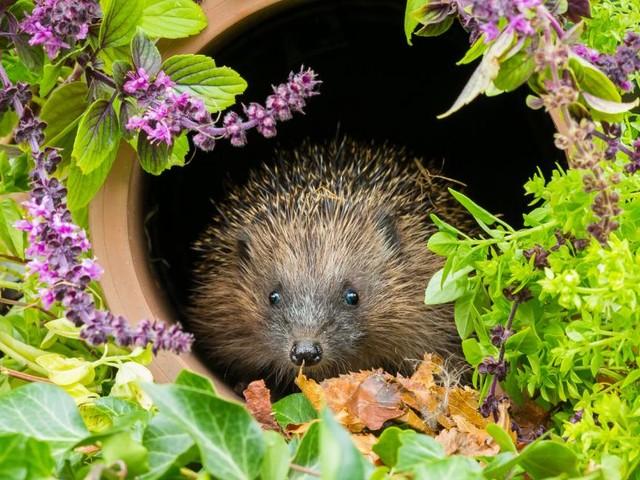 Woche der Artenvielfalt: Wilde Gärten für Igel und andere Lebewesen