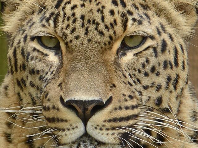 Allwetterzoo Münster veranstaltet Tiger- und Leopardentage 2017 um Allerheiligen