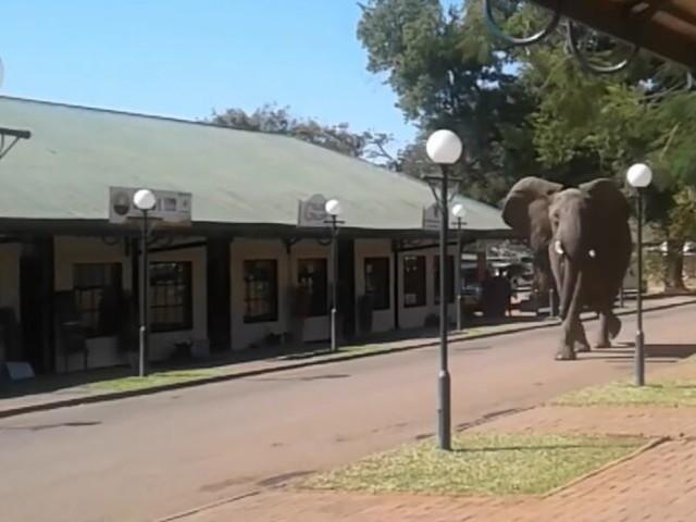 Victoria Falls: Elefanten wandern durch die Stadt