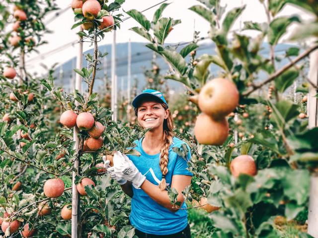 Südtiroler Apfelernte – ein Blick hinter die Kulisse