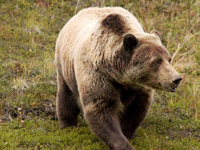 Grizzlybär tötet schlafenden Touristen - seine Freundin muss zusehen